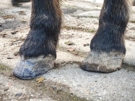 Zoccoli di cavallo dopo la cura del maniscalco. Smith ha terminato il pareggio regolare e la pulizia dello zoccolo, ha usato una raspa per rimuovere la cheratina usurata Archivio Fotografico
