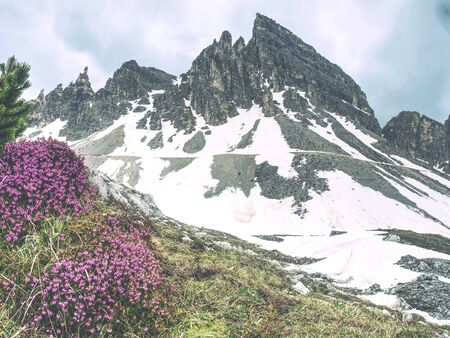 Contrast of pink twigs heather bushes with cold sharp peaks of rocks. Spring come to Dolomites mountains.