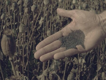 Seeds on hand palm. Lying his hand black ripe and brown unripe dry poppy seeds