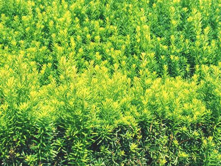 Hedge of evergreen plant with ownership separation function. Popular lush hedge of evergreen plant with separation function