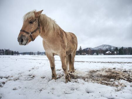 Isabella white horse in snow. Winter life in horse range. Thoroughbred horse. Beautiful horse.