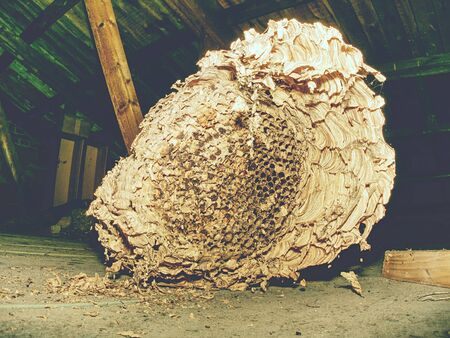 Wasp built paper house under house roof. Abandoned european wasp nest in garden house.