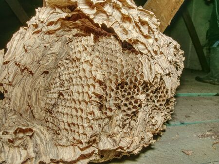 Used wasps polist under house roof. The nest of big family of wasps