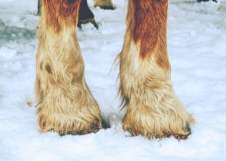 Horse leg in wet sticky snow. Deep marks of horse hoofs.