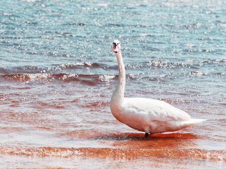 Breeding of wild Swan feeding on lake bank, close view. Swan head in detail