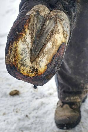 Zoccolo di cavallo fiammeggiante fumante sotto il ferro di cavallo caldo. Maniscalco posizionando il ferro caldo sullo zoccolo dei cavalli. Archivio Fotografico
