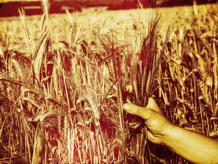 Hand farmer touching green rice in farm with sunrise.  Abstract filter.