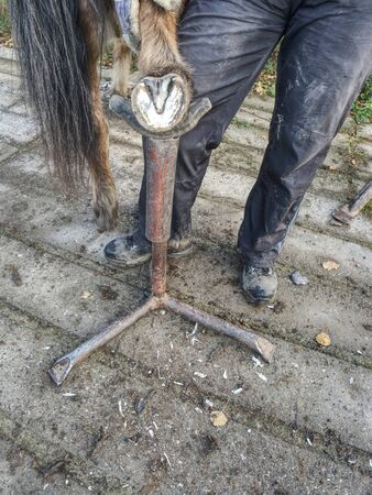 Farmer cleaning non shod horses hoof. Necessary routine for horse health and balanced step.