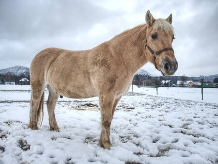 White muddy pony or horse standing looking at frosty winter field.