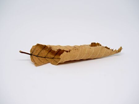Dry autumn beech leaf isolated on white. Rolled leaf into tube Reklamní fotografie