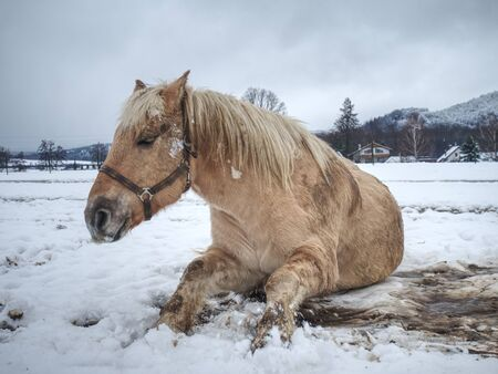 Blurry motioned white horse while rolling in fresh snow. Mountain meadow with horses.