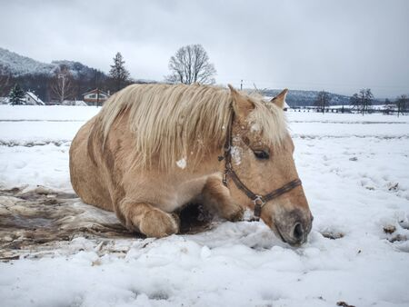Nice white horse in fresh first snow. Snowy pasture  at mountain farm.  Wet snow in cloudy cold weather