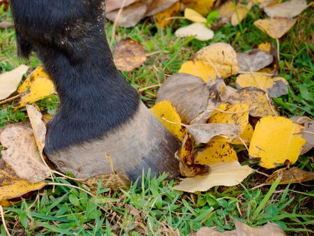 Horse leg with hoof without horseshoe stay in fall poplar leaves
