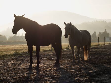 Horses in the morning mist on the pasture in October, autumn starts Stockfoto