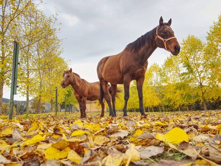 Ponny and horse grazing on autumn pasture with yellow leaves carpet at sundown in cloudy sky Standard-Bild