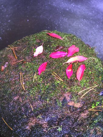 Autumn red pink leaves of bush put on mossy stone in creek. Fall season at river in natural park.
