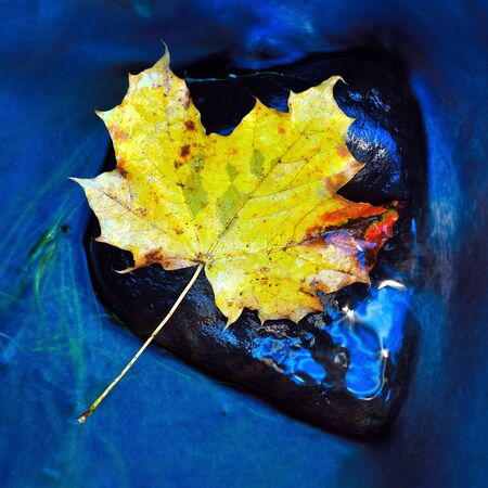 Colorful fall leaves the flowing forest brook. Maple leaf caught on rock in river