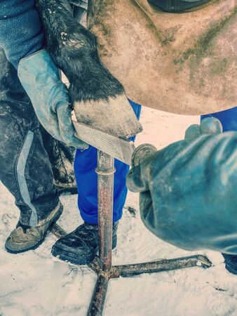 Blacksmith hands  fits a horse shoe to horse hoof with a rasp.