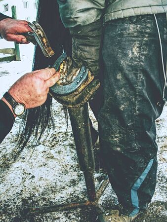 Farrier is nailing up new horseshoe on hoof. Skilled man replaced worn out horse shoe with new one.