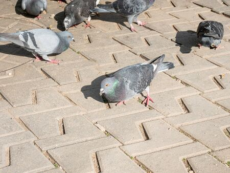 Many gray and blue pigeons on pavement in down town Imagens