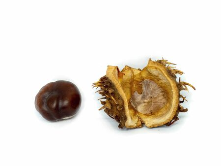 dry brown chestnut isolated on white background, spiky shell