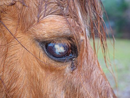 Old blind ponny with monthly blindness or Moon Blindness. It is chronic, painful eye disease. Brown horse eating grass on large pasture. Banco de Imagens