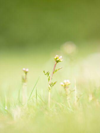 Meadow flower with gentle pink blooming, common cuckooflower, lady`s smock, mayflower, or milkmaids is a flowering plant in meadow. Standard-Bild