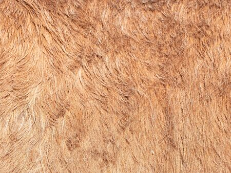 Light brown young horse fur in the morning light. The natural look of spring fur.