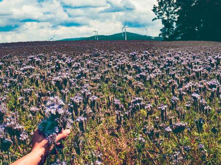 Farmer examining Lacy phacelia or Phacelia tanacetifolia flower in field. 免版税图像