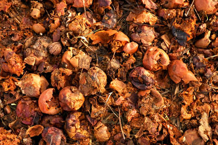 Rotten red and yellow apples prepared as feed for farm animals