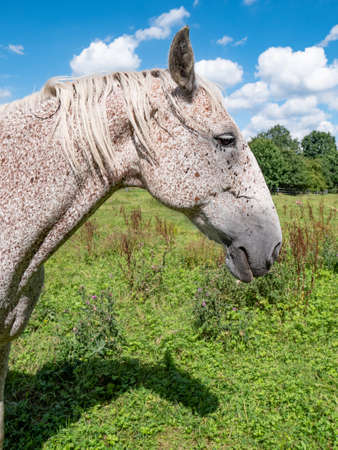 Head and enck of red brown dotted white appaloosa horse. Close view on neck and mane of calm older mare.