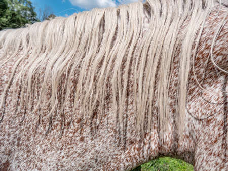 Head and eck of red brown dotted white horse. Close view on neck and mane of calm older mare.