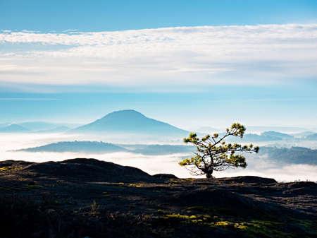 Wild bonsai tree of pine on sandstone rocks. Blue mist in valley below peak. Autumnal foggy weather bellow.