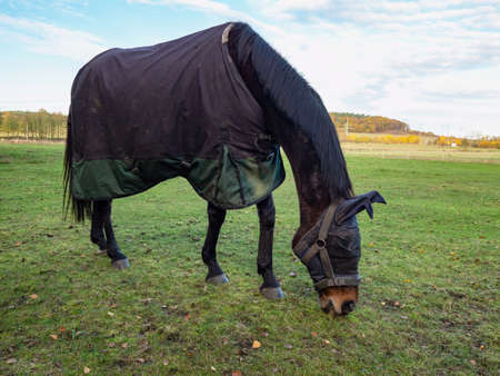 Horse with head mask grazzing in blanket coat to keep warm during cold morning. Large meadow with wire ranch fence and trees in background 免版税图像