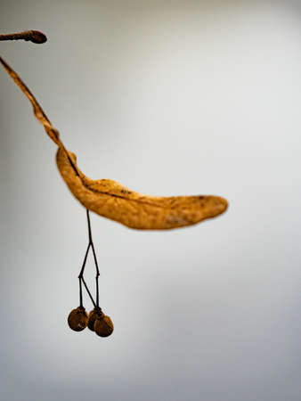 Lime tree seed. Dried linden Tilia. Nuts or fruits on a tree branch on light water level background