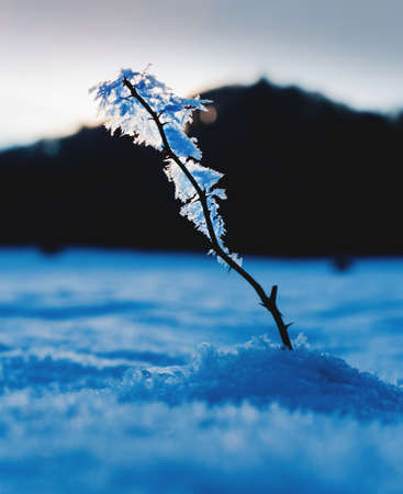Macro photo of dog rose twig with sharp thorns and big snowflakes. Close up view with winter theme