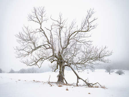 Old tree in silent winter landscape. Snowy field, hazy winter scene