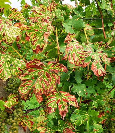Grapevine stripe diseas eesca appear as dark red or yellow stripes on leaves, which eventually dry and become necrotic. Imagens