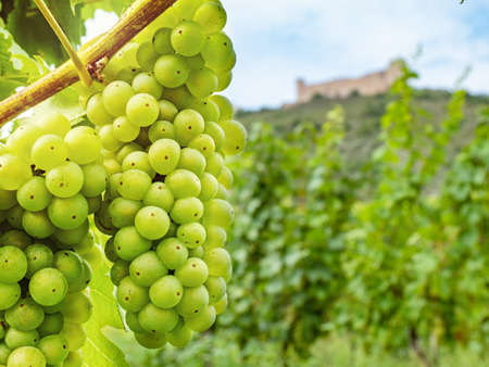 Fresh green vineyards with large juicy vine grapes and silhouette of well known Palava hills and Divci hrady ruin. Vinery region South Moravia, Czech Republic. Imagens
