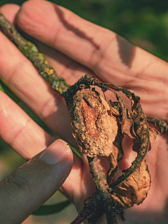 Farmer shows the rotten peach on a branch. Peach tree diseases of fungi and mold. Imagens