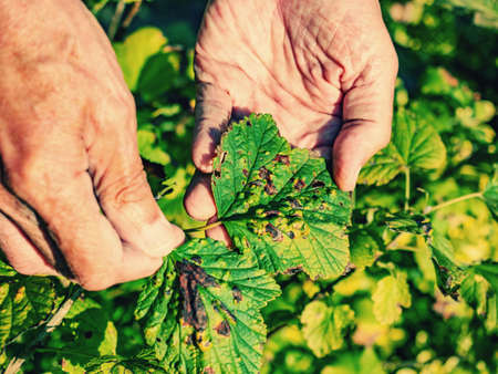 Gardener shows disease of red and black currants, infection with Gallic aphids Anthracnose