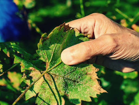 Winegrower examines a white aphid on the underside of a vine leaf. Yellowing leaves and ruined crop.
