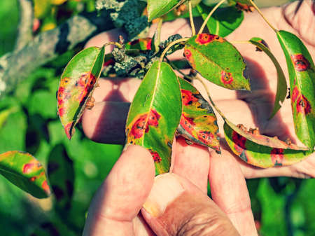 Red dots disease of pear leaves. Puccinia recondita spots. Gardener shows damage to rot and parasites. The concept of protection of pear garden.