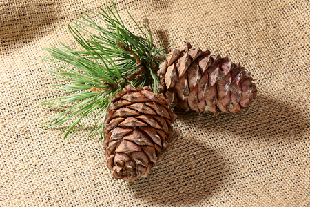 Siberian Pine nuts and  branches Stock Photo