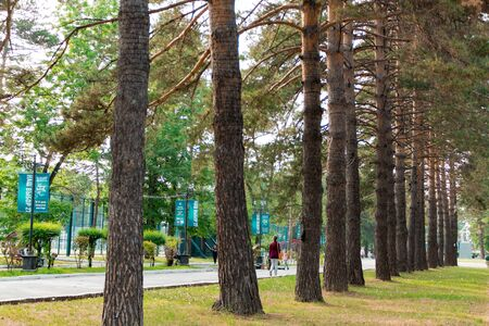 Coniferous trees are repeated diagonally in the Park on the embankment of the city of Khabarovsk. Russia.