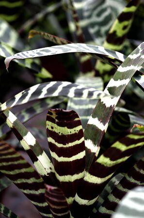 Tiger Striped Bromeliad Stock Photo - 2307617