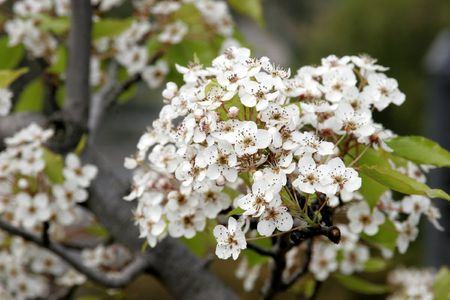 Pear Blossoms photo