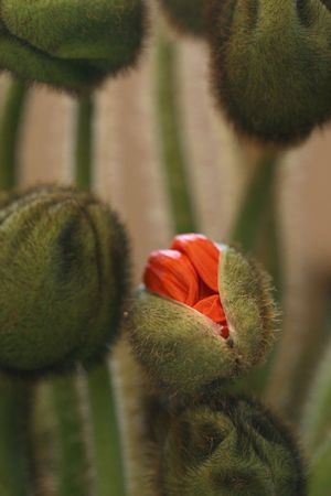 Poppy Blossoms Stock Photo - 2307506
