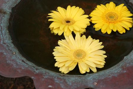 Gerber daisies floating in a bird bath photo