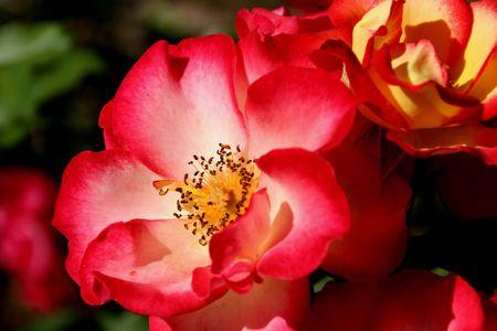 Betty Boop roses